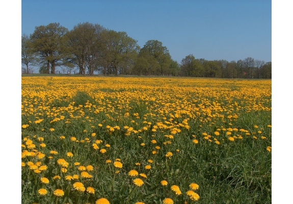 Buttercup meadow near Mirow, district Banzkow